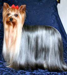 Rossie Boy (yorkshirelass49) Tags: show red cute yorkshire champion terrier yorkshireterriers bows champions miniture crufts ~shiney coat~