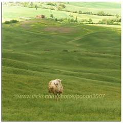 Lost (pongo 2007) Tags: italy landscape europe italia sheep unesco worldheritagesite hills tuscany pienza toscana valdorcia pongo2007