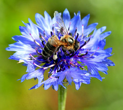 Bee On Blue Flower (jwinfred) Tags: plants macro nature mississippi nikon insects delta cypress 90mm preserve greenville d300 tamrom
