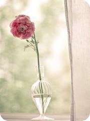 breathe (shannonblue) Tags: pink flower window ranunculus vase