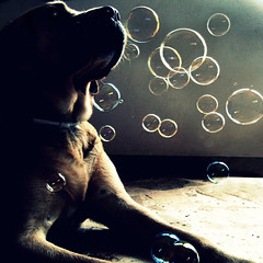 Where went the soap bubbles? (dangeri.) Tags: portrait dog chien pet loving labrador mood dream perro dreams athome doc sundaymorning doggie perrito gettyimages soapbubbles blueribbonwinner musetto littlestories supershot petlover abigfave thelittledoglaughed twtmeiconoftheday topf25faves heismylove pet1000 doggielife miocucciolo picswithsoul heismyangel lovely~lovelyphoto magicunicornverybest magicunicornmasterpiece ourdailylife myyellowlabrador hehasanadorablesnout