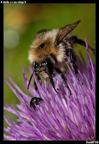 A abella e o seu colega II