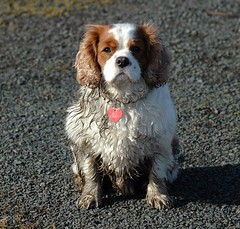 Soap Dodger (Gerry Hill) Tags: dog white mutt king charles spaniel cavalier ruby pooch blenheim benjy benji