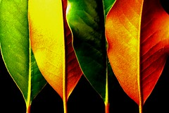 Leaves of a Different Color (Sassafras T.) Tags: saveearth compositionmasters