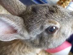 Hasen (connielein) Tags: bunnies june bet 2009 hasen zwergkaninchen
