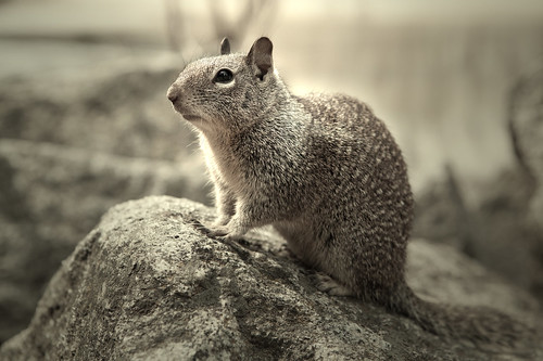 """Curiosity"" I took this one last month on my trip to Yosemite National Park. Those squirrels caught my attention, so i put a cracker on the rock which is taller than him, wait till he come over and have a glance at it, then point & shoot."