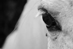 close up III (Gilraen Vardamir) Tags: horse eye up animal fly close lashes zoom farm cavallo occhio animale mosca fattoria ciglia