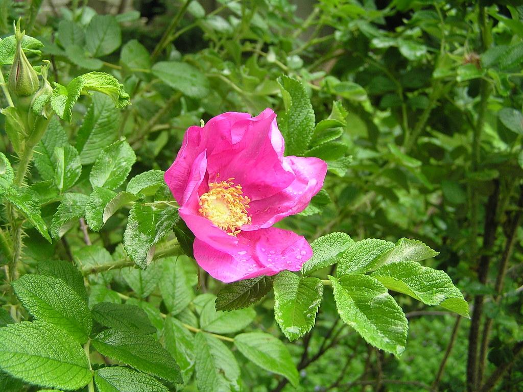 rose (may 2010)