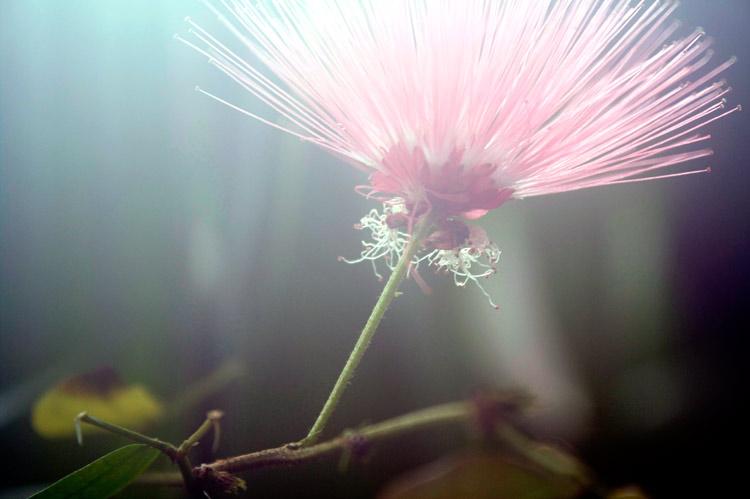 hortus-pinkflower