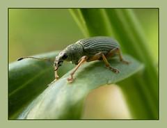 Weevil (Loe Giesen) Tags: weevil physostegia obedientplant scharnierplant rüsselkäfer snuitkever polydrusussericeus nikoncoolpixp80 groenestruiksnuittor explore257may182010 loegiesen