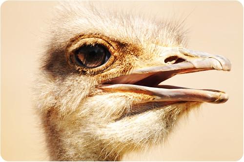 Ostrich @ como zoo