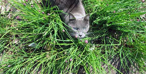 Chives (and Weed)