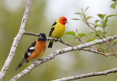 BHG and W Tanager (Canonshooterman) Tags: westerntanager blackheadedgrosbeak pheucticusmelanocephalus pirangaludoviciana