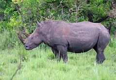 Nandi, Female White Rhino Ziwa Rhino Sanctuary, Uganda 1/2