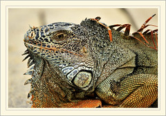Iguana (SloBob_CA) Tags: animals mexico iguana puertovallarta otw dragondaggerphoto