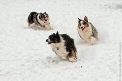 The Great Hunt (Micha67) Tags: winter dog pet pets snow playing dogs animal fun three michael nikon play action shepherd australian hound running run micha catch aussie fabulous hounds aussies bestinshow schaefer shepherds bluemerle d300 eyecatchers blacktri flickrdiamond theunforgettablepictures overtheexcellence goldstaraward flickrestrellas quarzoespecial animaloutdoorphotographersworldwide