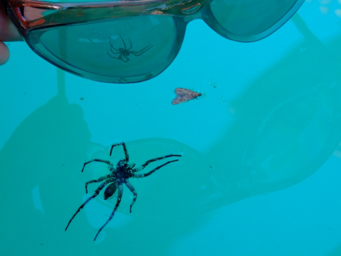 spider in pool
