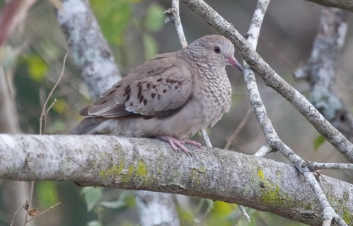 Ground-Dove