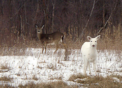 a deer of a different color (Abizeleth) Tags: winter brown white snow evening dusk wildlife deer mammals whitetaileddeer odocoileusvirginianus whitedeer senecaarmydepot armydepot romulusny