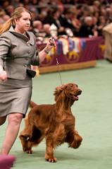 Setter (Irish) (al1d8gun) Tags: newyorkcity newyork dogs nikon dogshow sporting madisonsquaregarden 2009 bestinshow wkc d300 breeds westminsterdogshow afsvrzoomnikkor70200mmf28gifed thewestminsterkennelclub setterirish