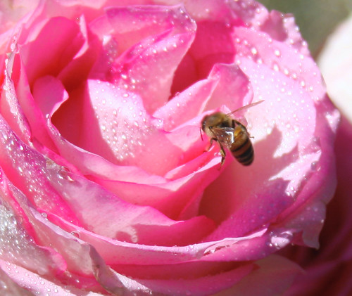 A bumble on a pink rose wet from the rain