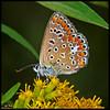 Polyommatus icarus (alfvet) Tags: macro nature butterfly nikon natura breathtaking insetti d60 farfalle bej mywinners abigfave platinumphoto theunforgettablepictures platinumheartaward theperfectphotographer goldstaraward tup2 veterinarifotografi