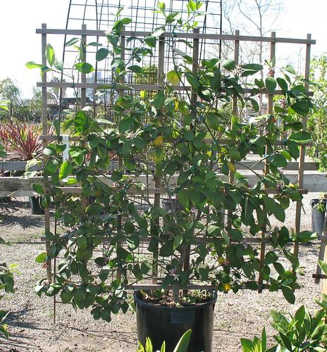 lemon tree on trellis