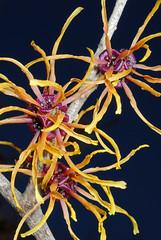 Witch hazel (linden.g) Tags: plant flower macro gardens witch hazel longwood macrolife