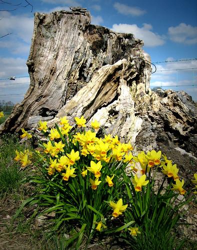 Daffodils 26ax2Apr09