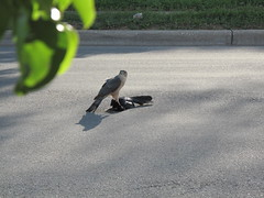 That's a hawk (Crafty Bitch) Tags: food death hawk grackle carrion