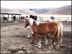 cavalli nella piana  (1) (My soul in pixel..) Tags: emilius omaggioallitaliacentrale regionedeimontisibillini