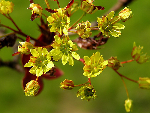 Infiorescenza dell Acer platanoides.....Norway maple flowers by Sante.boschianpest