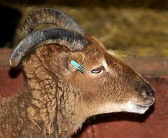 DSC_0828ed1 (incurable_hippie) Tags: cute wool animals community sheep sheffield straw horns curly hay stable soaysheep heeleycityfarm