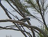 Coastal California gnatcatcher, a …