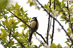 Great tit in plum tree (Thom Lunasea) Tags: bird greattit plumtree