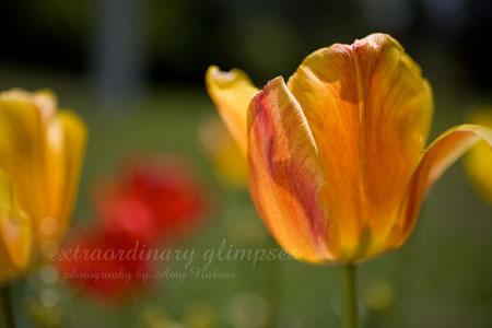 Tulips_041609_0004web