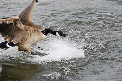 Canada Goose Splashdown DSC_0429 (Ron Kube Photography) Tags: canada calgary bird nature birds fauna geese nikon goose alberta ornithology canadagoose brantacanadensis inglewood birdsanctuary calgaryalberta inglewoodbirdsanctuary southernalberta d80 nikond80 globalbirdtrekkers ronaldok ronkubephotography