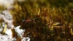 Formica rufa - Red forestant - Röd skogsmyra (ErikNygren) Tags: macro canon eos sweden ant ants 5d formica antz värmland rufa eos5d formicarufa canonef100mmmacro antmacro eriknygren östradeje