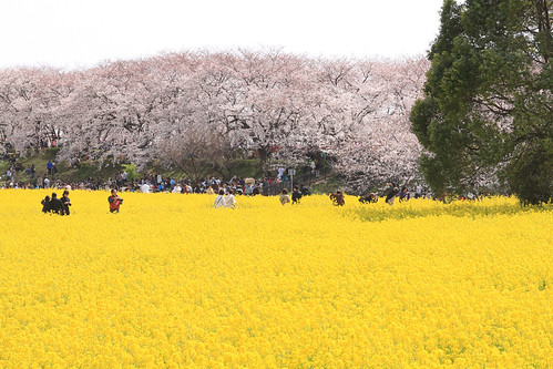 yellow and pink  -Satte no sakura 02-