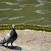 Pigeon on water lilly