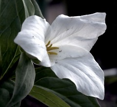 As far as flowers go...I always have loved a good looking Trillium. (wash52121) Tags: trillium iremember
