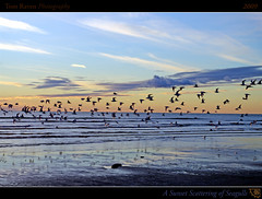A Sunset Scattering of Seagulls (tomraven) Tags: ocean sunset sea newzealand sky sun seagulls beach clouds reflections geotagged interestingness surf framed startled gulls explore frontpage 2009 kapitiisland scattering explored otakibeach inexplore mywinners geo:lat=40726706 dancinggull tomraven geo:lon=175122499 yourheadlightsstartleaflockofoldlovelettersstillundeliveredenrouteforyears q209