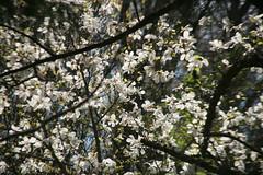 IMG_4794 (shinyai) Tags: japan aomori hirosaki