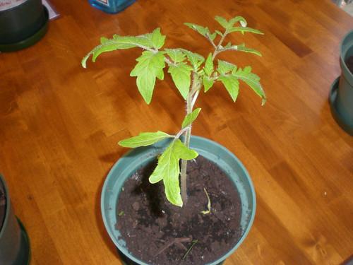 Pollock Tomato Plant, 45 days old