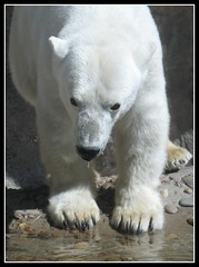 King of the Arctic: The Polar Bear - Zoo Denver, Colorado, USA (Batikart ... handicapped ... sorry for no comments) Tags: bear travel vacation usa white reflection nature water animal fauna america canon geotagged zoo interestingness spring paw colorado holidays wasser unitedstates urlaub natur f100 denver explore polarbear co denverzoo amerika weiss spiegelung 2009 vacanze tier globalwarming br skyland canonpowershot a610 eisbr ursusmaritimus polarbr frhjahr pranke canonpowershota610 tatze milehighcity 100faves i500 200faves denverdowntown specanimal viewonblack batikart