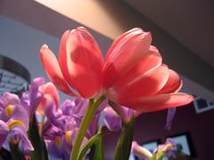 double headed tulip