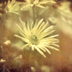 Come On, Leave Me B R E A T H L E S S (Stephen.James) Tags: brown blur flower green texture sepia petals bokeh sunflower tone