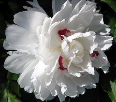 peony (catlovers) Tags: white flower macro nature blossom peony soe catlovers supershot beautifulphoto masterphotos mywinners abigfave theperfectphotographer goldstaraward excellentsflowers sognidreams awesomeblossoms vosplusbellesphotos thecelebrationoflife oneofmypics flickraward monisertel