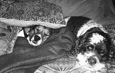 Didja Ever Have One of Those Days . . . (faith goble) Tags: family friends sleeping blackandwhite bw art love beagle dogs puppy fur relax cowboy artist poem nap peace photographer affection br