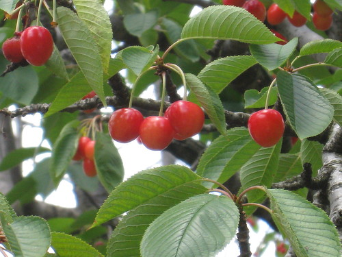 cherry 069
